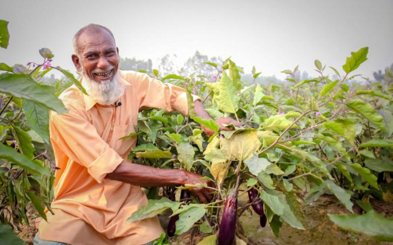 68 years old Afzal Hossain is growing Bt brinjal for last three years. He is happy and willing to grow it in future.