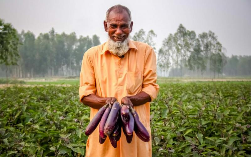 Afzal Hossain is happy harvesting Bt brinjal, which is not damaged due to FSB infestation.