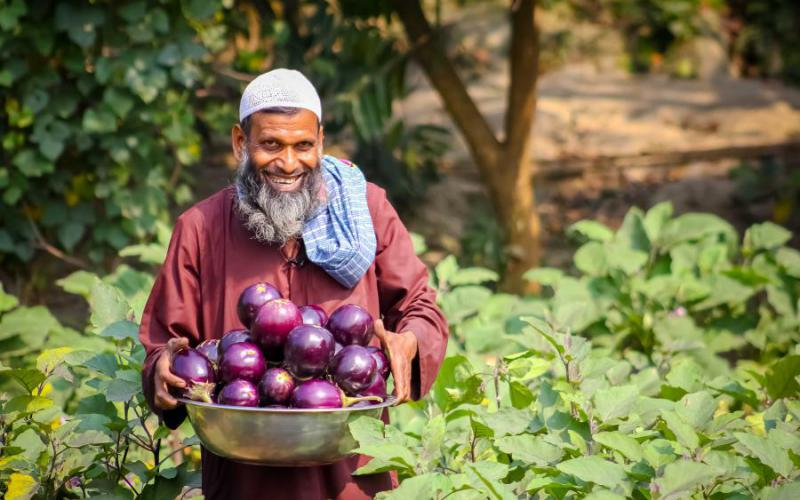 Md. Khalilur Rahman is  harvesting Bt brinjal from his field. He can sell all of the harvested brinjal because these are not damaged by FSB insect.