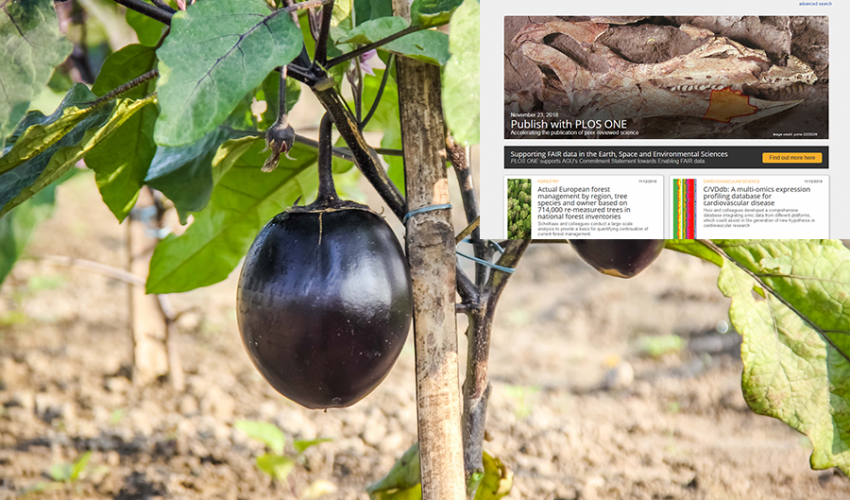 GM eggplant can reduce pesticide use in Bangladesh