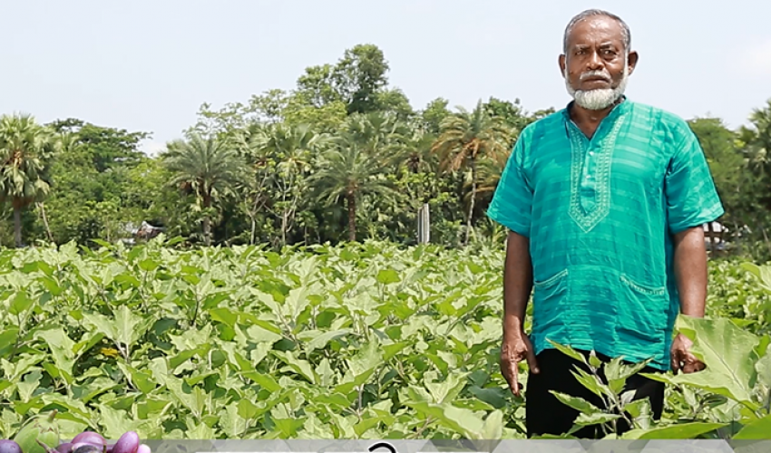 Farmer in field with Bt brinjal